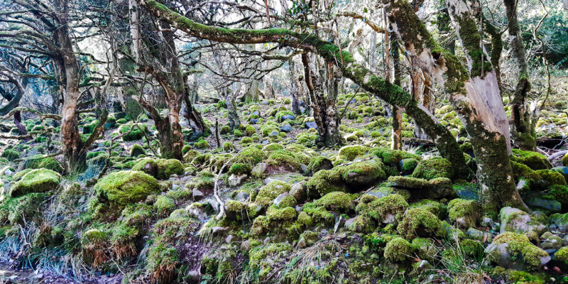 Image is of thick, bright green moss covering smooth rocks amid bare winter trees.